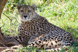 Ally, the proud mother of new cheetah cubs.  Photo courtesy of Mehgan Murphy, Smithsonian's National Zoo.