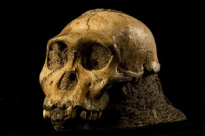 Cranium of Malapa Hominid I Photo by Brett Eloff, courtesy Lee Berger and the University of the Witwatersrand