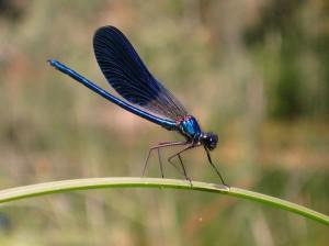 640px-Calopteryx_splendens2
