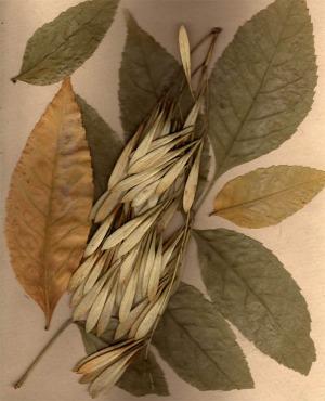An herbarium specimen including seeds and leaves. Credit loscuadernosdejulia on flickr.